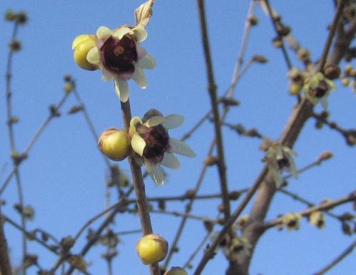 Wintersweet witch hazel - chimononthus praecox